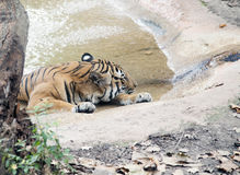 Тигр отдыхая на горячий летний день Стоковые Изображения RF