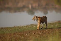 Тигр от Ranthambhore Стоковая Фотография RF