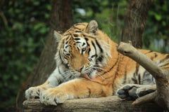 Тигр охлаждает вне стоковые изображения rf