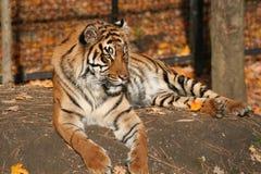 тигр падения Стоковая Фотография