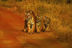 Тигр, пантера Тигр Женщина Hirdinala с новичками Запас тигра Tadoba, район Chandrapur стоковое изображение