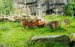 Тигр (пантера Тигр) самый большой вид кота, большинств recogni Стоковые Изображения RF