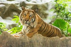 Тигр (пантера Тигр) Стоковое Изображение RF