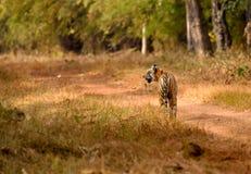 Тигр перед кораблем Стоковое фото RF
