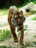 Тигр перед нападением Стоковая Фотография