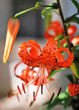 тигр померанца лилии цветка стоковые изображения