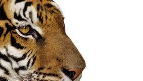 тигр портрета предпосылки близкий вверх по белизне Стоковое Изображение