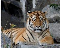 тигр портрета Стоковое Изображение