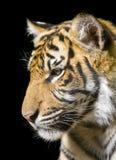тигр портрета стоковое фото
