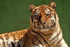 тигр портрета Стоковые Фотографии RF