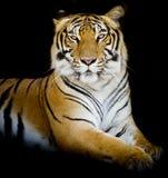 Тигр, портрет тигра Бенгалии Стоковые Изображения