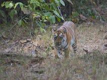 Тигр под деревом Стоковая Фотография RF