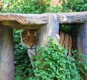 Тигр под тенью Стоковые Изображения RF