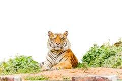 Тигр представляя предпосылку изолята белую с путем клиппирования стоковые фотографии rf