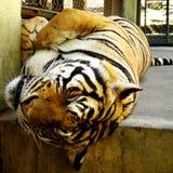 Тигр принимает ворсину в полдень Стоковое Фото
