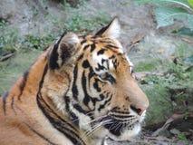 Тигр, профиль стоковые фотографии rf