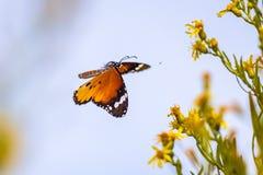 Тигр равнины бабочки летания в поле цветка Стоковое Изображение RF