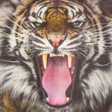 Тигр реветь Sumatran показывая зубы стоковая фотография rf