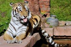 Тигр садить на насест на уступчике Стоковые Фотографии RF