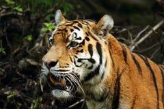 тигр сибиряка amur Стоковые Изображения