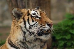 тигр сибиряка amur Стоковые Изображения RF