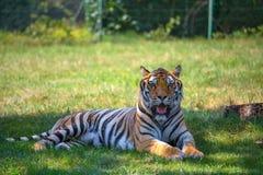 Тигр сидит на траве в открытом пространстве смотря камеру стоковые фотографии rf