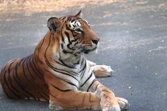 Тигр сидя на дороге и вытаращить на что-то стоковое изображение
