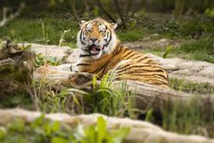 Тигр смотрит дальше стоковые фото