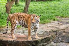 Тигр смотря во время релаксации в природе Стоковая Фотография