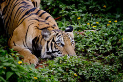Тигр смотря его добыча и подготавливает для того чтобы уловить ее Стоковое фото RF