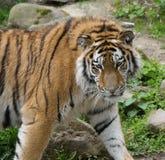 Тигр смотря к праву Стоковая Фотография RF