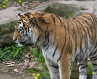 Тигр смотря правый Стоковые Фотографии RF