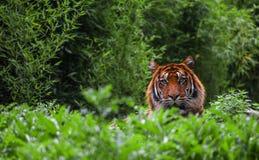 Тигр смотря прямо на вас стоковое фото