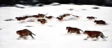 Тигр снега одичалый северо-восточный Стоковые Изображения