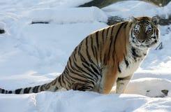 тигр снежка Стоковая Фотография