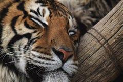 тигр спать Бенгалии стоковое изображение rf