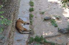 Тигр спать в тени Стоковое Изображение RF