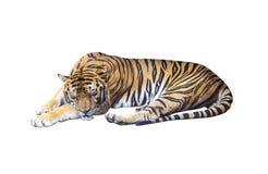 Тигр спать на белизне стоковое изображение