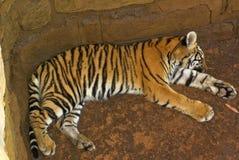 тигр спать новичка Стоковые Изображения