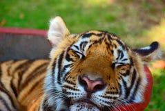 Тигр спать. Стоковые Изображения