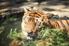 Тигр спать Стоковое фото RF