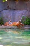 Тигр спать Стоковые Изображения