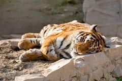 Тигр спать Стоковая Фотография