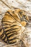 Тигр спать Siberian в Харбин Китае Стоковое Фото
