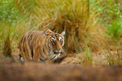 Тигр спрятанный в траве озера Индийский тигр с первым дождем, одичалым животным в среду обитания природы, Ranthambore опасности,  Стоковое Изображение