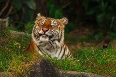 тигр стороны смешной Стоковое Изображение