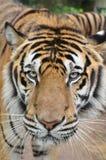 тигр стороны Стоковые Фото