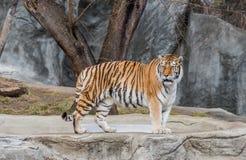 Тигр стоя на зоопарке Стоковое Изображение
