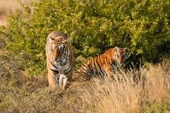 Тигр с ее новичком стоковое изображение rf
