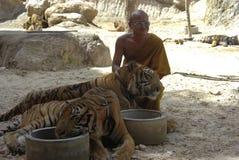 тигр Таиланда монаха кота Азии Бенгалии буддийский Стоковое Изображение